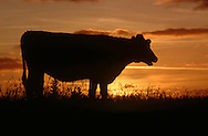 DEU, Deutschland: Hausrind (Bos taurus), Kuh bei Sonnenuntergang auf einer Deichwiese, Rasse: Schwarzbunte, Norddeutschland | DEU, Germany: Domestic cattle (Bos taurus), cow standing on dike meadow in sunset, race: Holstein, Northern Germany |