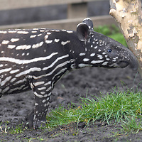 Tapir at Edinburgh Zoo