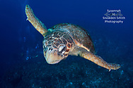 "Grand Cayman - ""Buzzing The Tower"" A giant loggerhead in flight.  Photographed at In Between dive site on the Northwest side of the island. I swam hard to catch up to this beauty and get this shot."