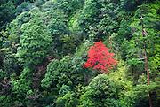 Japan, Miyajima, (Itsukushima) Island Japanese fall colours