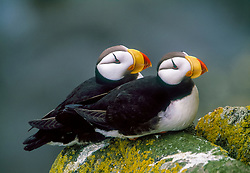 pair of horned puffin, Fratercula corniculata, St. George Island, The Pribilofs, Alaska, Pacific Ocean