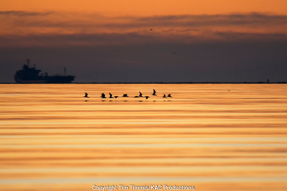 Black Skimmer, Rynchops niger, Bolivar Flats, Texas gulf coast, flying flock, silhouette, calm water with golden light, ship in background