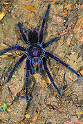 Purple Tarantula (Pamphobeteus sp.)<br /> Mashpi Rainforest Biodiversity Reserve<br /> Pichincha<br /> Ecuador<br /> South America