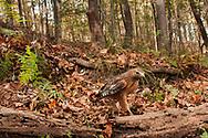 Red-shouldered Hawk (Buteo lineatus)<br /> United States: Alabama: Tuscaloosa Co.<br /> Tulip Tree Springs off Echola Rd.; Elrod<br /> 5-Nov-2016<br /> J.C. Abbott &amp; K.K. Abbott