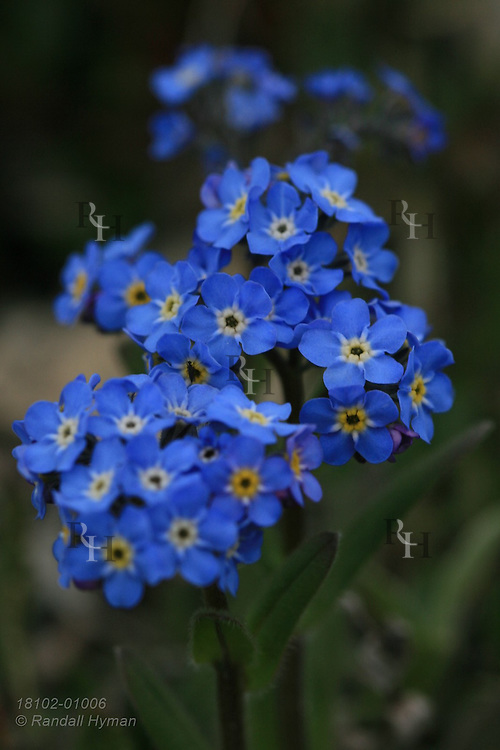 Alpine forget-me-not (Myosotis alpestris) wildflowers blossom in July atop Parker Ridge during the short summer of the Canadian Rockies in Banff National Park, Alberta, Canada.