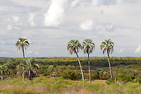 PARQUE NACIONAL EL PALMAR, ARROYO EL PALMAR, PALMERAS YATAY (Syagrus yatay) Y ESPECIES NO AUTOCTONAS (ARBOLES PARAISO, Melia azedarach), PROV. DE ENTRE RIOS, ARGENTINA