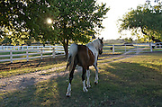 Race horse heading home at sunset. Horse farm in the Hill Country north of San Antonio, Texas
