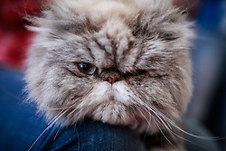 61080070<br /> A Persian cat rests during the International Feline Exhibition, in Bogota, capital of Colombia, on Feb. 16, 2014. About 100 breeds of cats were presented during the International Feline Exhibition held in Bogota. Sunday, 16th February 2014. Picture by  imago / i-Images<br /> UK ONLY