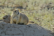 Protected species - the Black-tailed prairie dog (Cynomys ludovicianus) near entrance hole to underground tunnel<br />Grasslands National Park<br />Saskatchewan <br />Canada