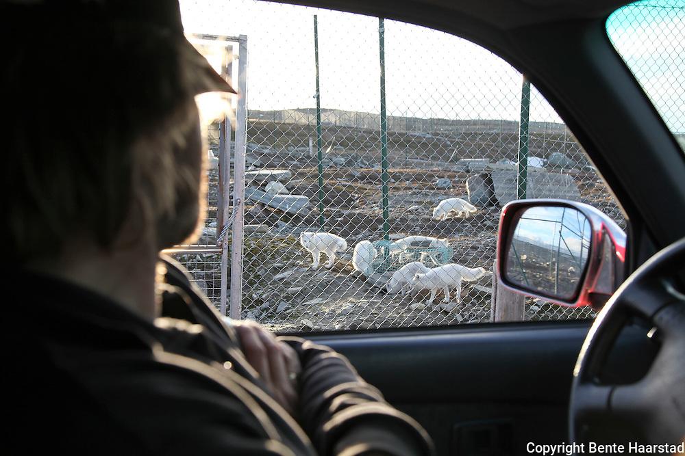 Toralf Mjøen, røkter ved Sæterfjellet avlsstasjon på Oppdal. Her avles frem valper av fjellrev, basert på fjellrev fanget inn i naturen. Prosjektet har vært med på å berge den sterkt utrydningstruede arten. Fjellrevprosjektet, avlsstasjonen på Sæterfjellet, Oppdal, Norsk institutt for naturforskning.