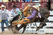 Rookie Saddle Bronc rider Teal Schmidt is thrown from Dirty Little Secret at the Cheyenne Frontier Days rodeo at Frontier Park Arena July 24, 2015 in Cheyenne, Wyoming. Frontier Days celebrates the cowboy traditions of the west with a rodeo, parade and fair.