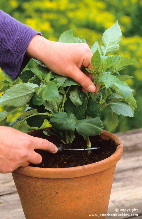 Taking dahlia cuttings<br /> Cutting from base of plant