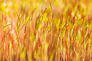 Moss sporophytes on heathland. Surrey, UK.
