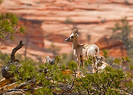 Mother ewe and lamb desert bighorn sheep on cliffs during spring snow squall in Zion National Park in Utah