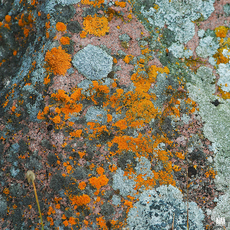 Lichens at Thule archaelogical site at Salmon Creek. Pond Inlet, Baffin Island. High Arctic. Canada.( isolated, remote, tourist, hike, hiking, foggy, weather, rock, rockly. tongue, river, beach, lichens, algae, colorful, plant, animal,