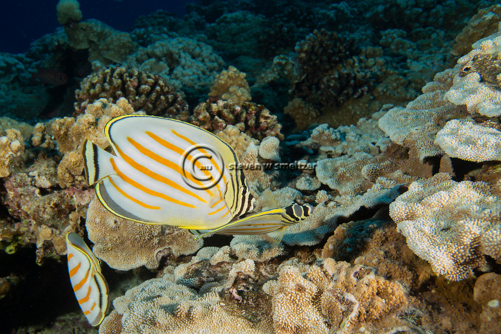 Ornate Butterfly Fish, Chaetodon ornatissimus, Cuvier, 1831, Maui, Hawaii