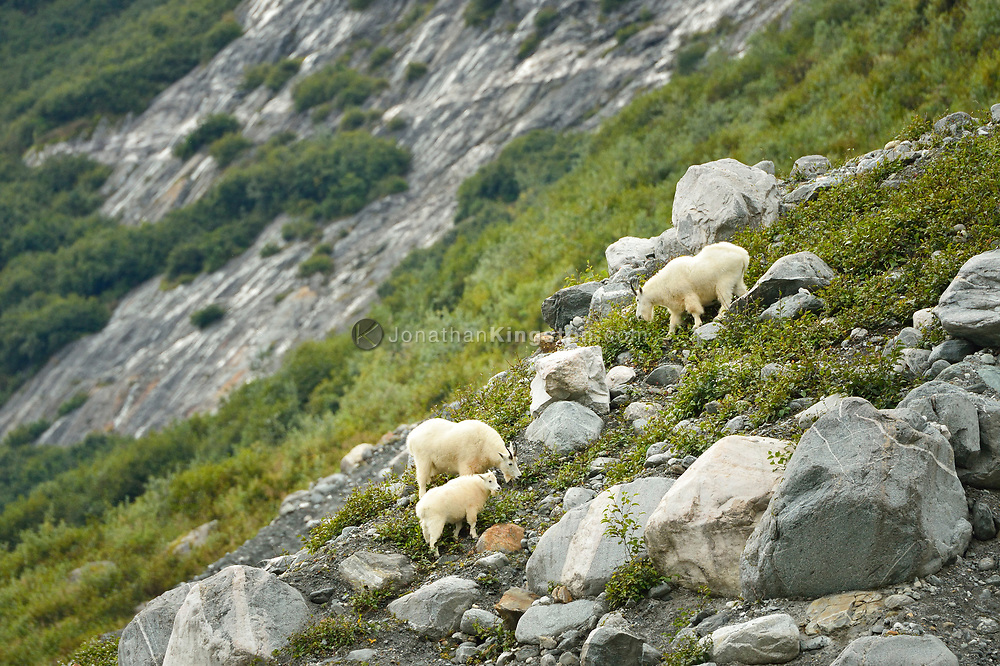 Three mountain goats graze on the steep vegetated hillside of Tracy Arm fjord near Juneau, Alaska.