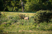 Mule deer seen at the Ford Ranch in southestern Colorado, right next to the New Mexico border.  Deer populate the draws and arroyo's in the area.