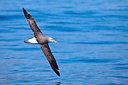Salvin's Albatross, New Zealand