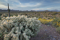 Superstition Mountains, Arizona, Jumping Cholla (Cylindropuntia fulgida) in the foreground