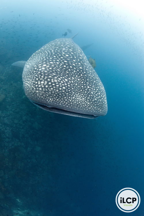 Whale shark (Rhincodon typus), Galapagos Islands, Ecuador, Darwin Island and Arch, Galapagos