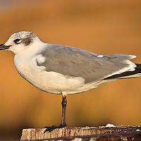 An adult laughing gull (Larus atricilla) in nonbreeding plumage perched on a bridge piling in the morning light, Blackwater National Wildlife Refuge, Cambridge, Maryland