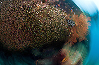 Swarm of Golden Sweepers, Soft Corals, Blurred.Shot in West Papua Province, Indonesia