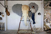 "legal Taxidermy In Namibian<br /> <br /> If you who want to take your self-shot elephant, leopard or giraffe as a trophy  home, you can visit the white Namibian Louw Mel, just outside Windhoek. He and his 45 professional support staff  will stuff your elephant for around EUR 38,000. But not only an elephant, also a giraffe (8500 euros), leopard (1800 euros), rhino (14,000 euros) or alligator (328 euro/per meter) Louw and his men transforms in a true work of art. At the door of Louw's office hangs a price list on which the 35 most popular species are listed. Taxidermy is legal in Namibia and very popular among hunters. In his workshop, hundreds of stuffed animals waiting to be shipped to the hunters who have shot them. The hunters are mostly white foreigners. Every week dozens of hunters, mainly wealthy Germans and Americans dressed in khaki safari outfit visit one of the many private nature reserves owned by white farmers for big game hunting. An average private property is as large as 5000 ha, where many wild animals live. A hunter must obtain permission (cost: 10 euros) from the Namibian Nature conservation and there is an official quota for the number of animals per species that can be killed. ""But in practice, things are not so strict' a Namibian hunting guide tells me. ""If you have enough money and you pay the owner of the private nature park, you can usually shoot what you want. So apart from the costs of stuffing the animal, the hunter must also pay the landowner for allowing to shoot  wildlife. For permission to kill an elephant is around 20,000 euros, for an leopard 7000 euros, a lion 15.000 euros and an antilope 1500 euros. So, in order to get that self-shot elephant in your living room in Berlin, it will cost you around 60,000 euros (38,000 euros for stuffing, 20,000 euros for shooting and 2000 euros for transport to germany). Once a hunter has killed an animal, he brings it to a taxidermist such as Louw for the animal to mount. Louw stuffs arount 6000 animals each y"