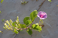 Goat-Foot Morning Glory, (Ipomoea pes-caprae subsp. brasiliensis), Cameron County, Texas