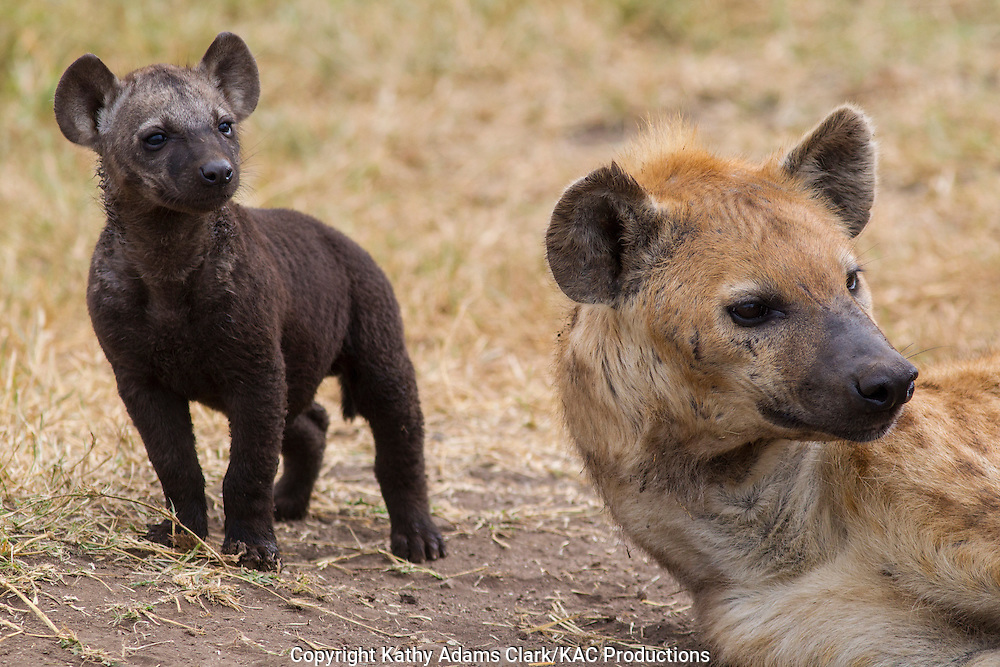 spotted hyaena, laughing hyaena, hyena, Crocuta crocuta, adult and baby, parent, Ngorongoro Creater, Ngorongoro Conservation Area, Tanzania, Africa.