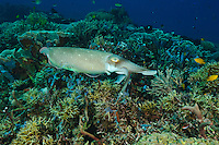Broadclub cuttlefish hunting, Sangalaki, Kalimantan, Indonesia.