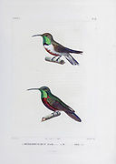 hand coloured sketch Top: Andean hillstar (Oreotrochilus estella) [Here as Orthorhyncgus estella]) Bottom: wedge-tailed hillstar (Oreotrochilus adela) [Here as Orthorhynchus adela]) From the book 'Voyage dans l'Amérique Méridionale' [Journey to South America: (Brazil, the eastern republic of Uruguay, the Argentine Republic, Patagonia, the republic of Chile, the republic of Bolivia, the republic of Peru), executed during the years 1826 - 1833] 4th volume Part 3 By: Orbigny, Alcide Dessalines d', d'Orbigny, 1802-1857; Montagne, Jean François Camille, 1784-1866; Martius, Karl Friedrich Philipp von, 1794-1868 Published Paris :Chez Pitois-Levrault et c.e ... ;1835-1847