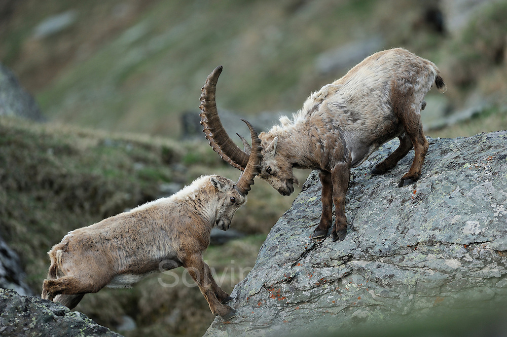 Alpine Ibex (Capra ibex)  | Alpen-Steinbock (Capra ibex) Nationalpark Hohe Tauern, Österreich.