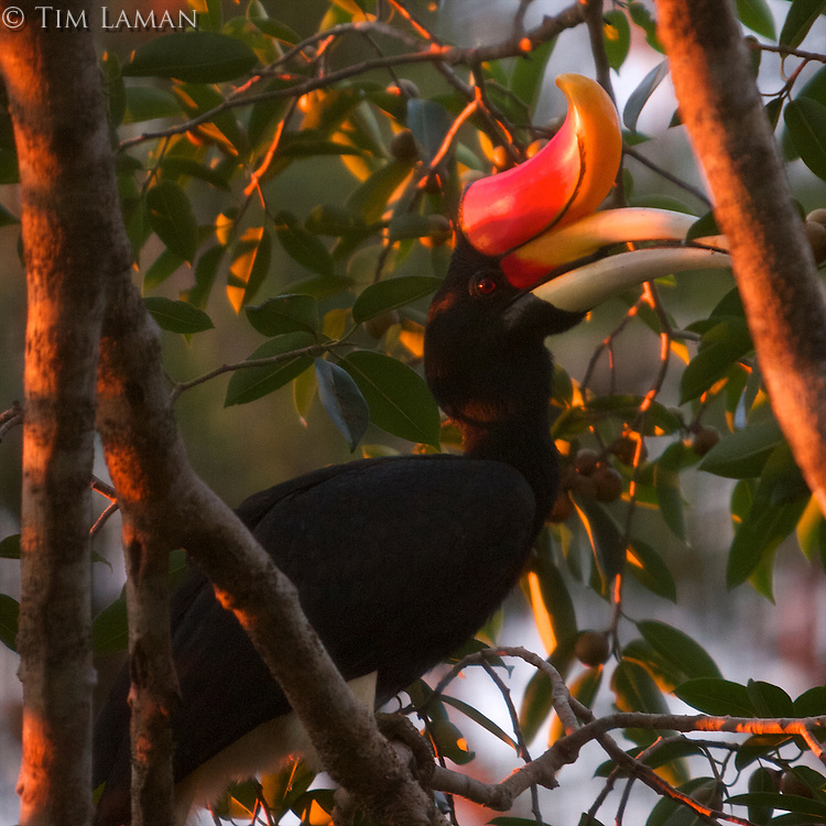 Rhinoceros Hornbill (Buceros rhinoceros) adult male, feeding at strangler fig tree Ficus dubia.