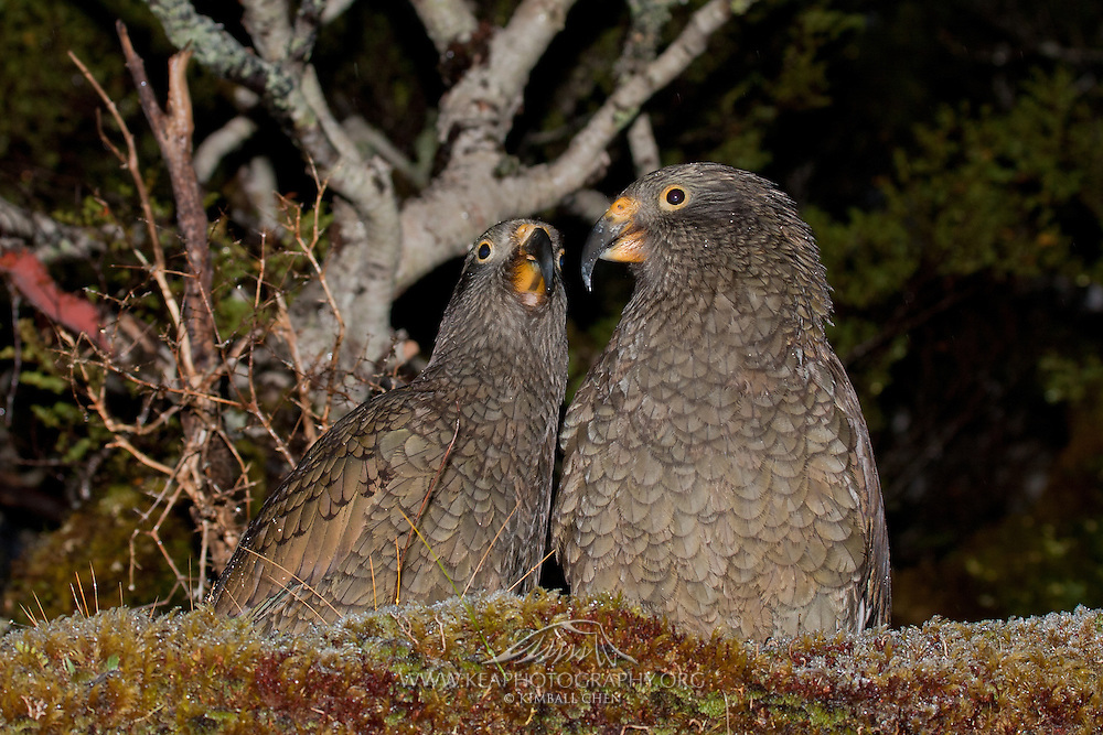 Kea, Fiordland, New Zealand
