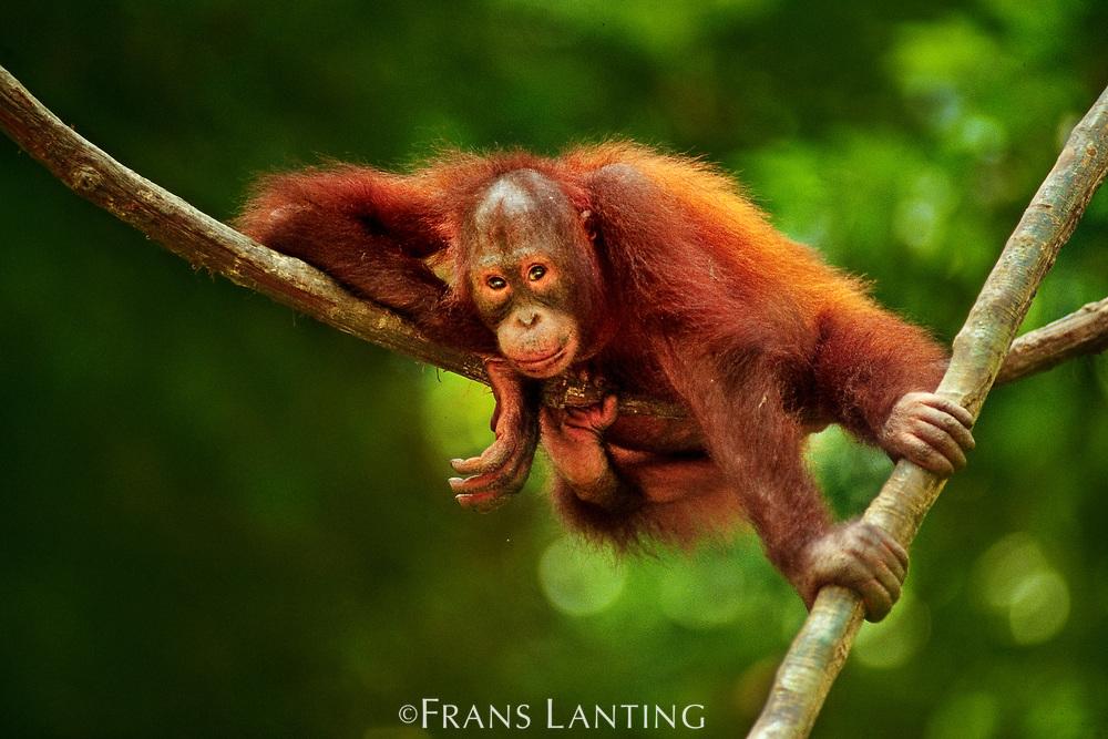 Bornean orangutan resting on liana, Sepilok Reserve, Sabah, Borneo