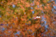 Sugar Loaf, N.Y. - Colorful autumn leaves float on the glassy surface of a pond showing the reflection of maple leaves still on the trees on Oct. 9, 2006. ©Tom Bushey