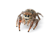 Pellenes tripunctatus - female. A jumping spider that is very rare (RDB1) in Britain. It only occurs on a few coastal shingle sites along the South Coast.