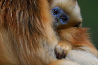 A Baby Sichuan Golden Snub-nosed Monkey, Rhinopithecus roxellana,in the arms of its mother at the Yangxian Nature Reserve, Shaanxi, China