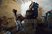 Camel at work at Oil Mill. Old City of San'a'.
