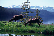 Pair of Elk (Cervus canadensis) grazing with Shoshone Lake in background, Yellowstone National Park, Wyoming..Subject photograph(s) are copyright Edward McCain. All rights are reserved except those specifically granted by Edward McCain in writing prior to publication...McCain Photography.211 S 4th Avenue.Tucson, AZ 85701-2103.(520) 623-1998.mobile: (520) 990-0999.fax: (520) 623-1190.http://www.mccainphoto.com.edward@mccainphoto.com.