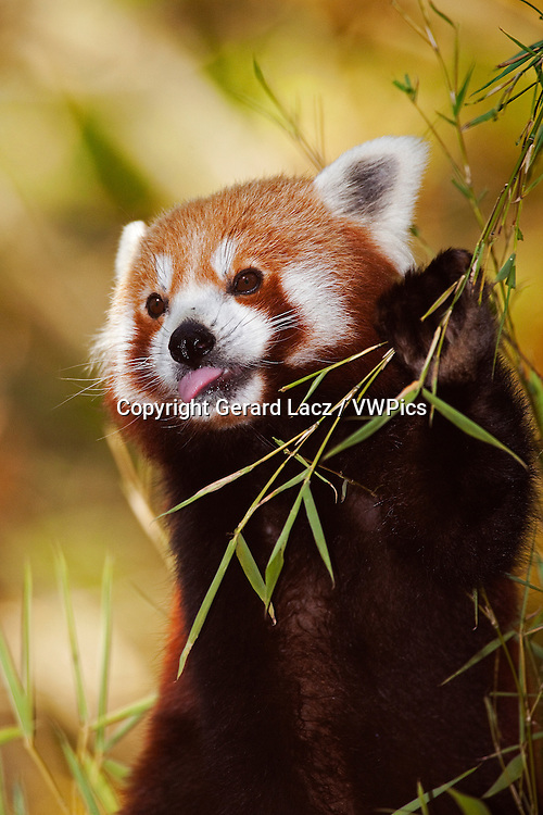 Red Panda, ailurus fulgens, Adult eating Bamboo's Leaves