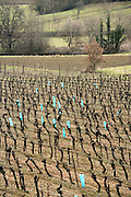 rows of vines during early spring in the Languedoc France