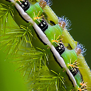 Caterpillar closeup. Santa Lucía Cloud Forest Reserve, Barrio La Delicia, Nanegal, Ecuador