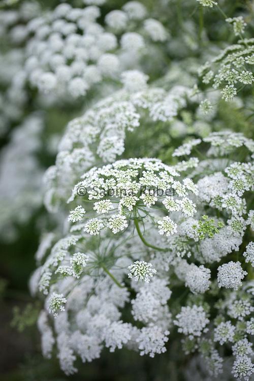 Ammi majus - bishop's weed