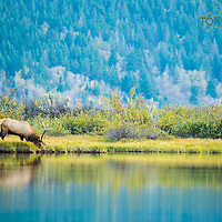 bull elk drinks water from a pond