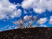 Lone Birch on Mount Etna