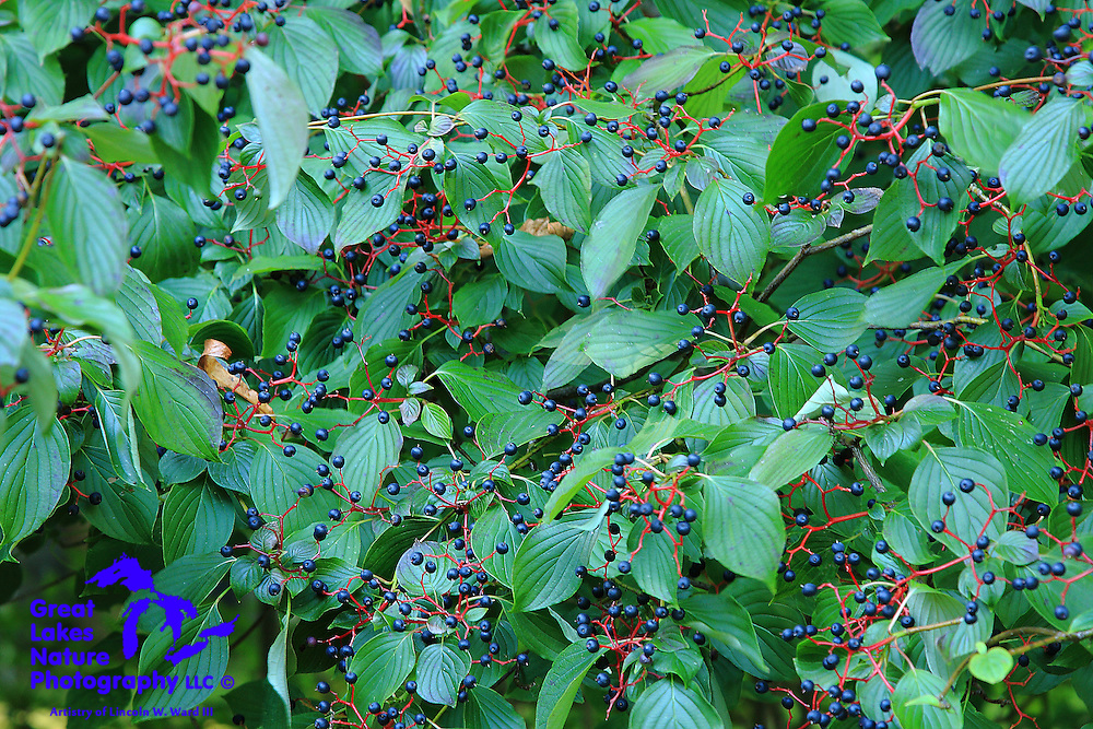 Blue Berries on Green Foliage