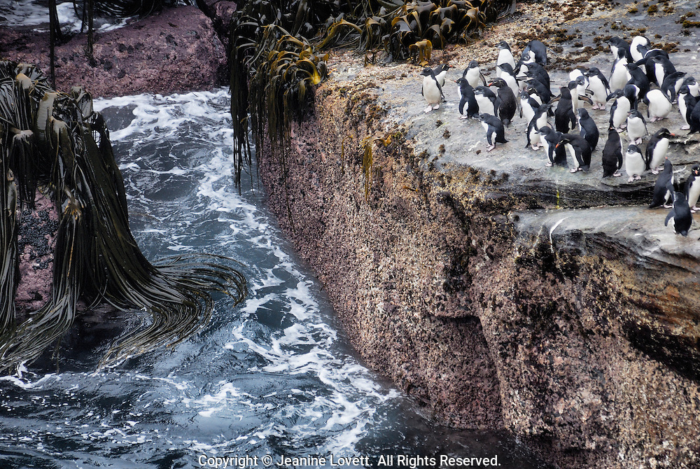 Rockhopper penguins live on islands near Antarctica. Rockhopper penguins nest in steep rocky places. Rockhopper penguins come ashore to mate in colonies
