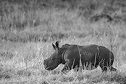 White Rhino Calf in black and white